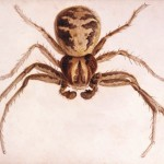 "Beatrix Potter, ""Study of a Spider"""