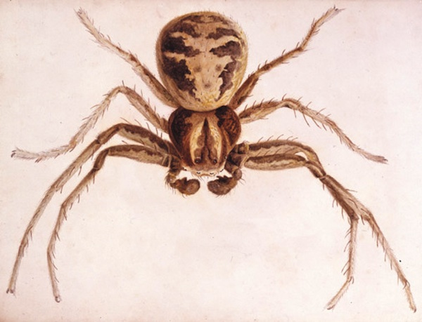 beatrix_potter_spider_studylarge