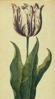 Viceroy Tulip Tulipomania