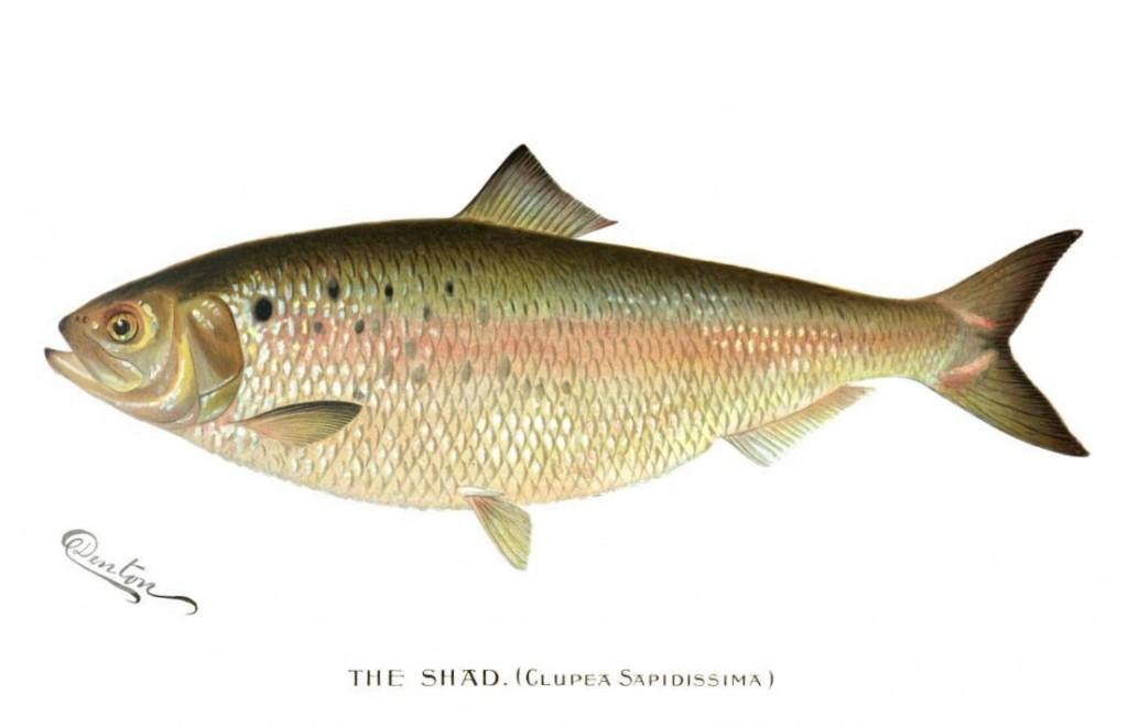 The_Shad_(Clupea_Sapidissima)