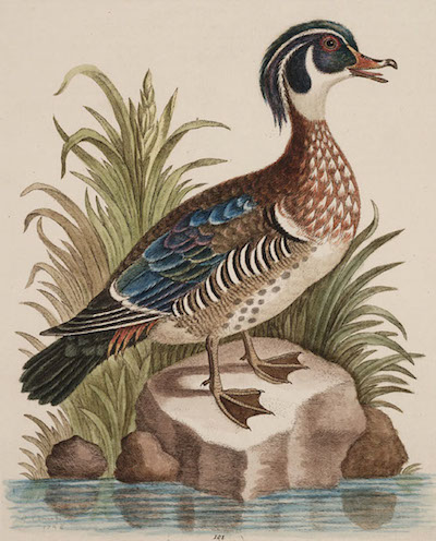 The_Summer_Duck_Of_Catesby