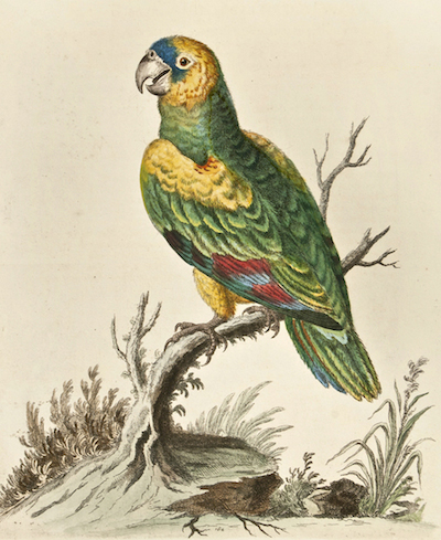 edwards-green-parrot-west-indies_1