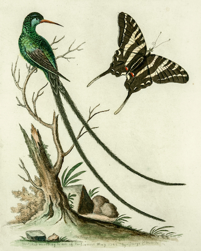 edwards-longest-tailed-humming-bird_1