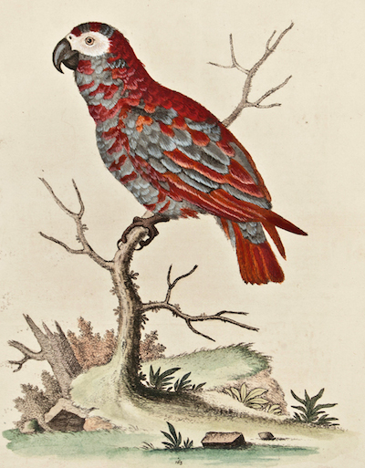edwards-red-african-gray-parrot_1