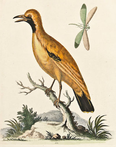 edwards_golden_bird_of_paradise_1