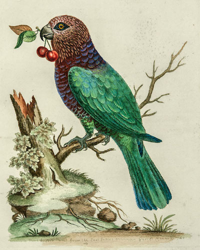 hawk-headed-parrot_1