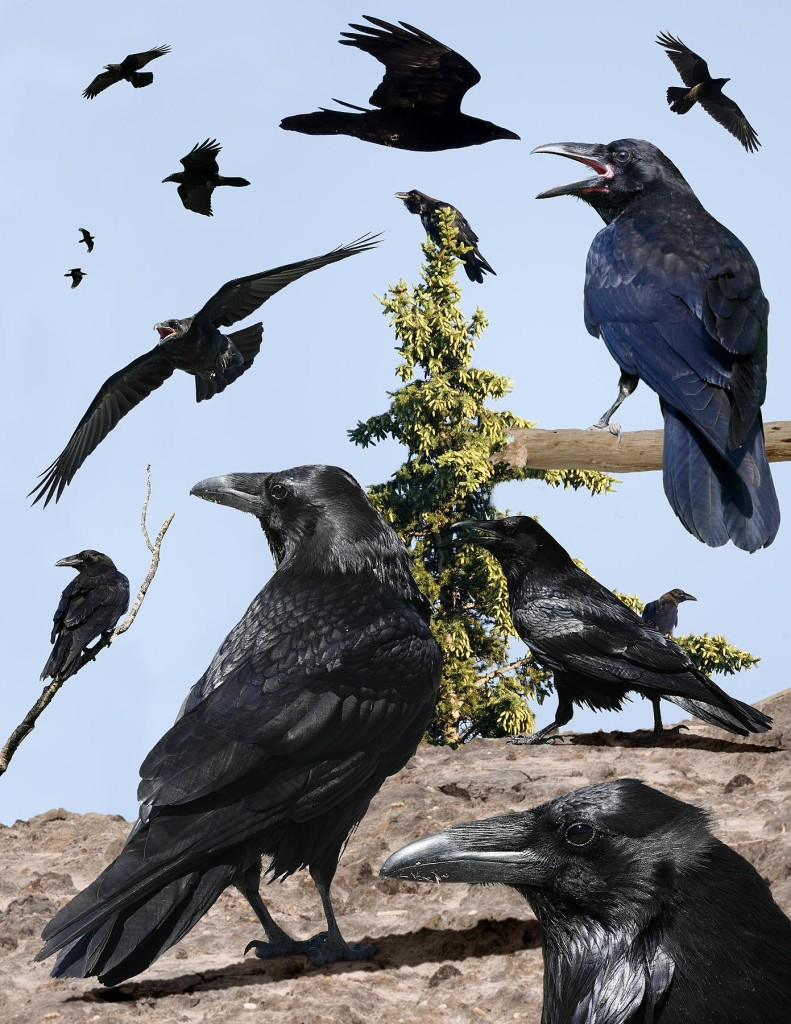 Common_Raven_From_The_Crossley_ID_Guide_Eastern_Birds