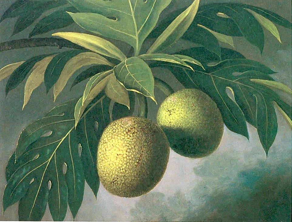 Breadfruit_by_Marguerite_Girvin_Gillin,_c._1884,_Bishop_Museum