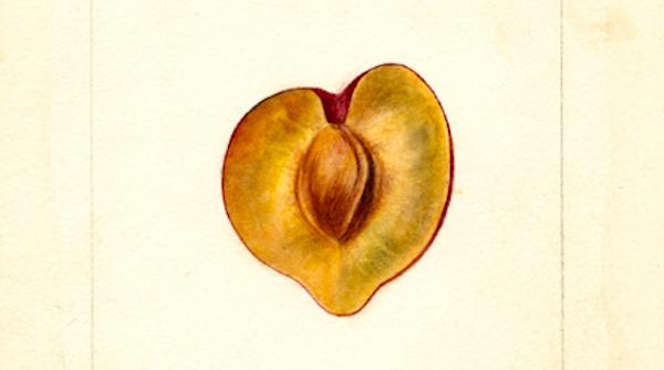 Passmore_Wickson-plum-1896