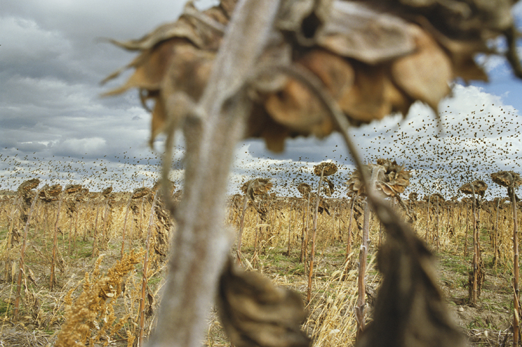 "Rebecca Norris Webb, Blackbirds, color photographs. From the series ""My Dakota,"" 2005–2011."
