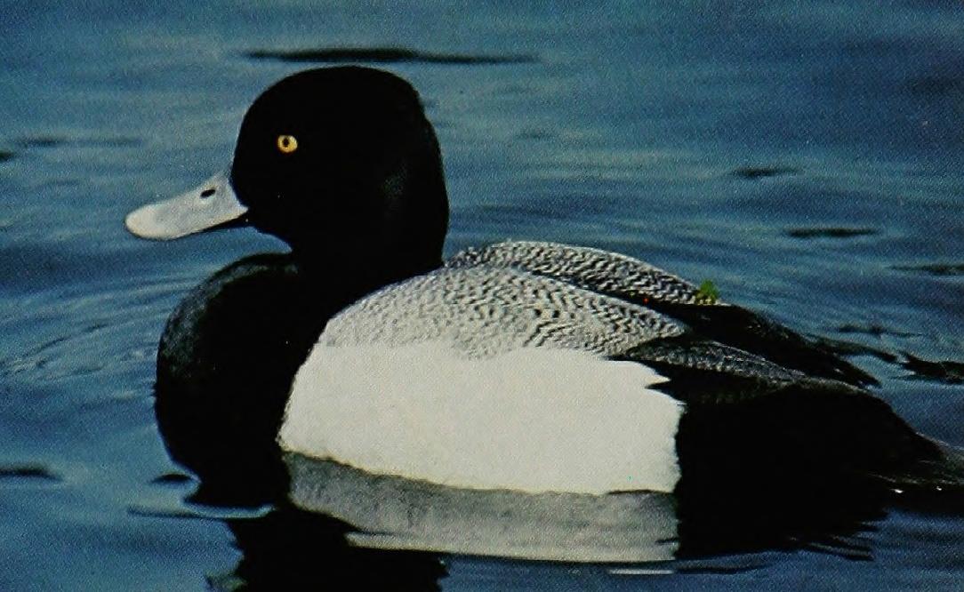 duckpoem