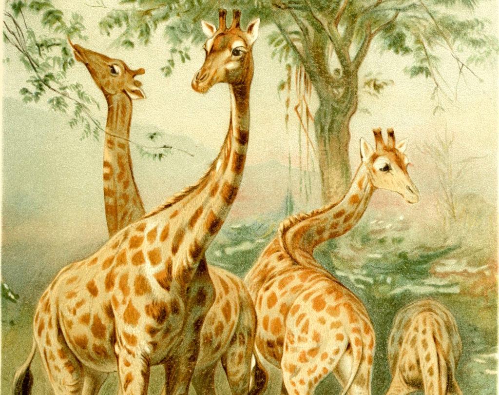 Giraffes, Despair